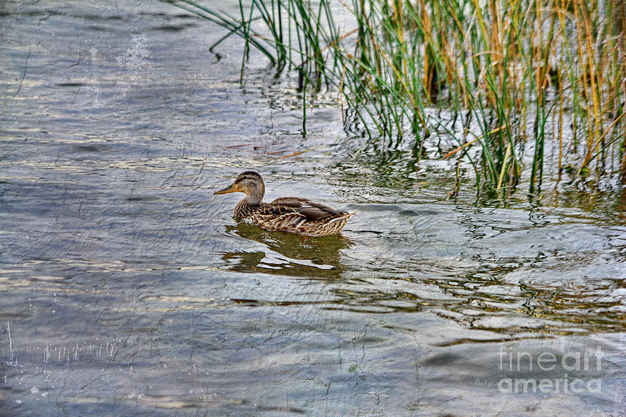Mallard By The Reeds Photograph