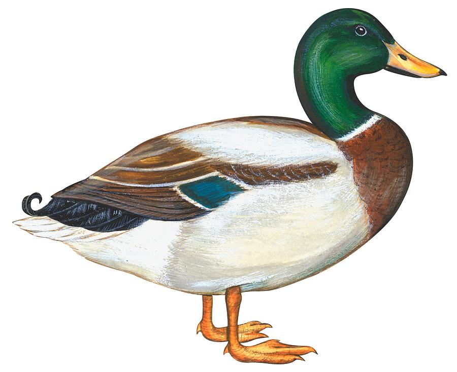 Mallard Duck Painting By Anonymous