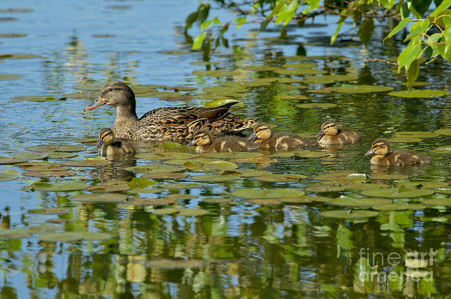 Mallard Mom And The Kids Photograph  - Mallard Mom And The Kids Fine Art Print