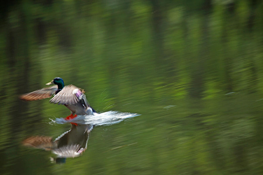 Mallard Splash Down Photograph