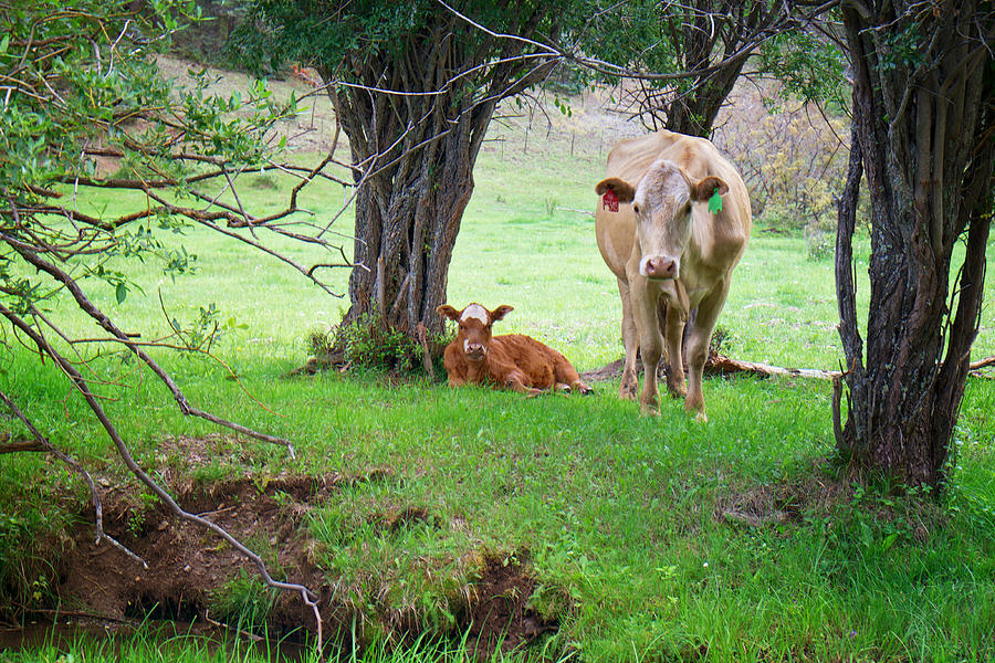 Cow Photograph - Mama Cow And Calf by Mary Lee Dereske