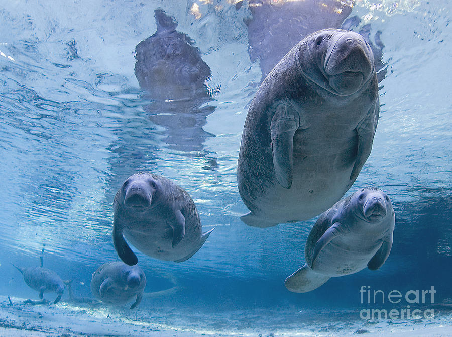 Manatee Parade By Todd Essick Photograph