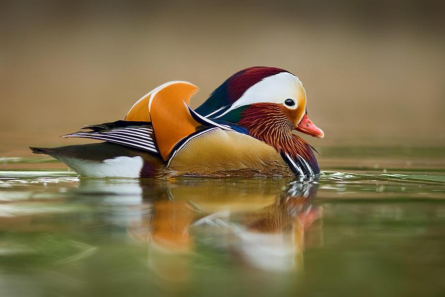 Mandarin Photograph