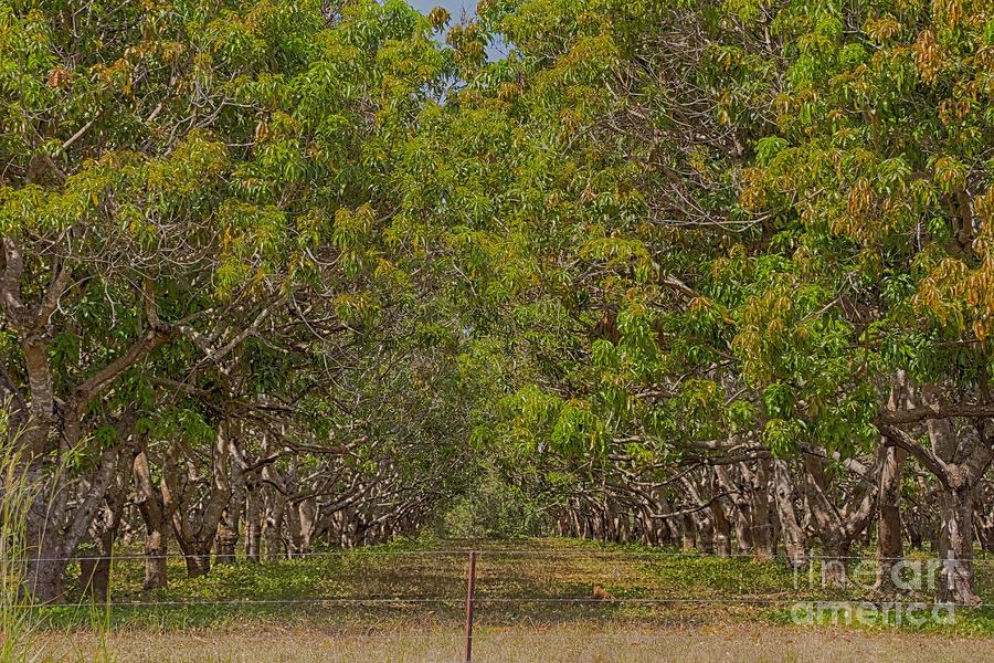 Mango Orchard Photograph