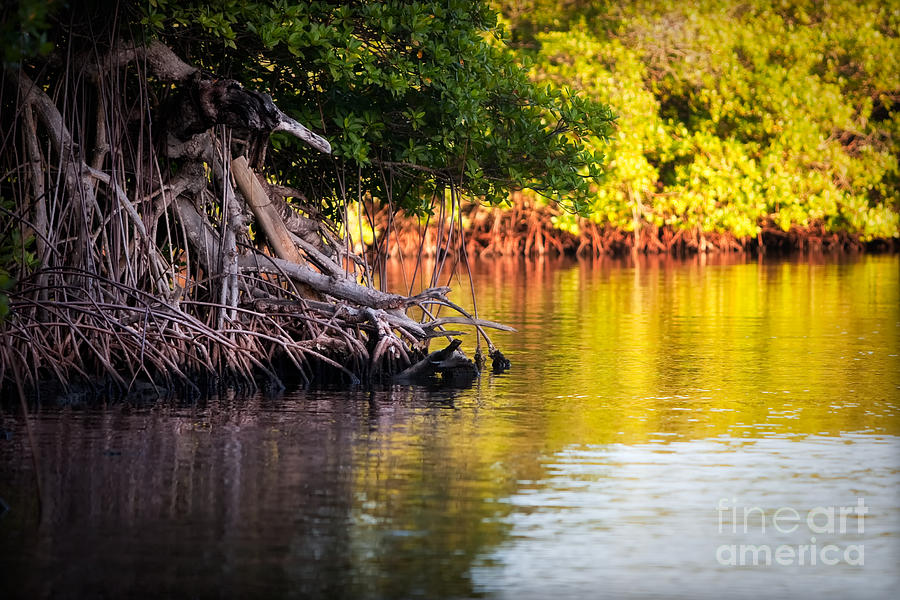 Mangroves Of Roatan Photograph  - Mangroves Of Roatan Fine Art Print