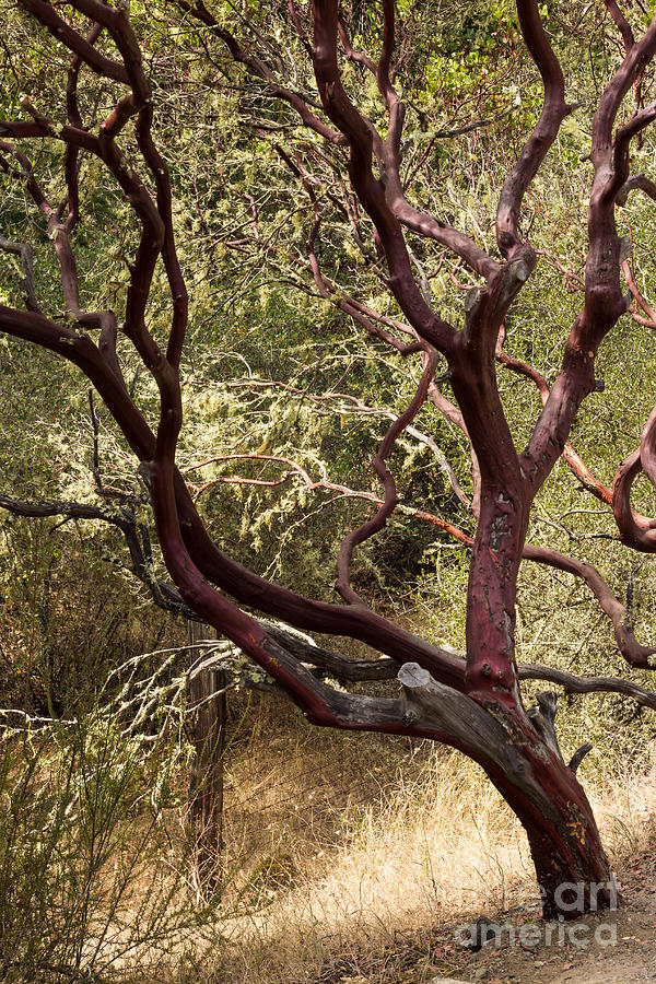 Manzanita Tree Photograph