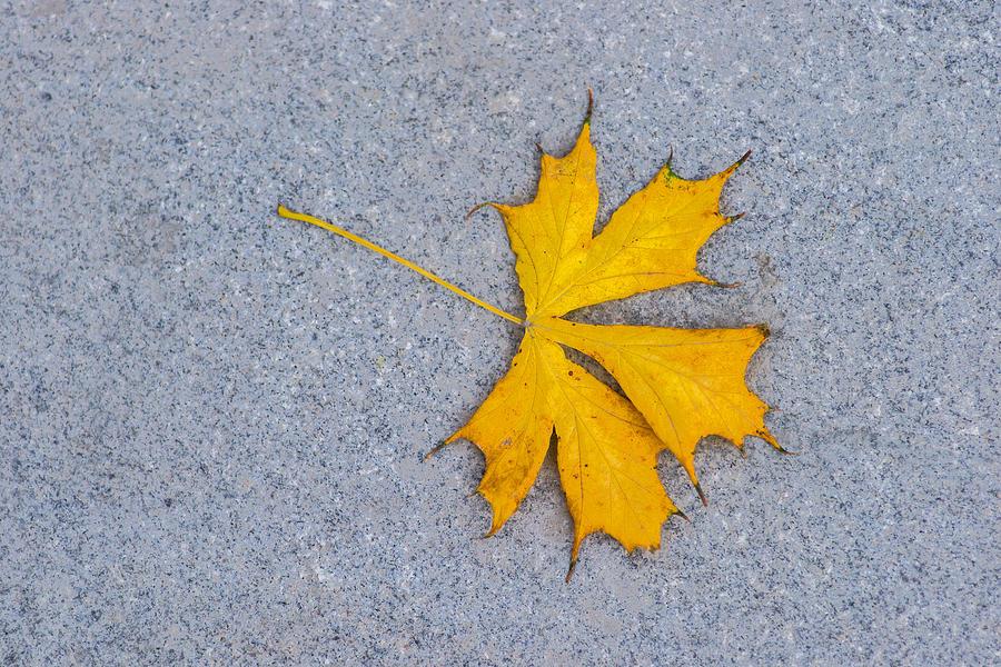 Maple Leaf On Granite 5 Photograph