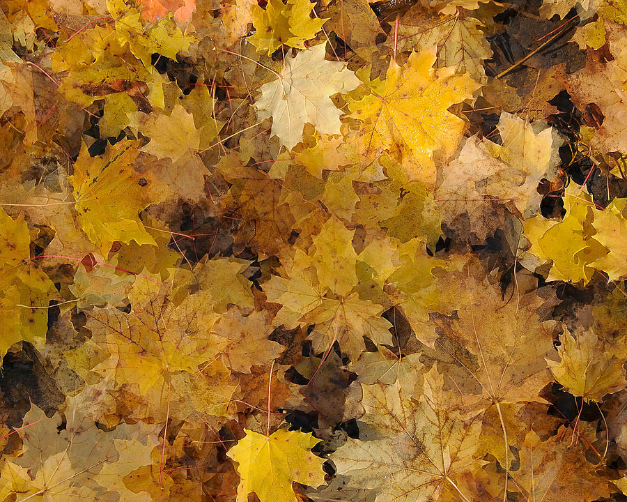 Maple Leaves 2013 Photograph