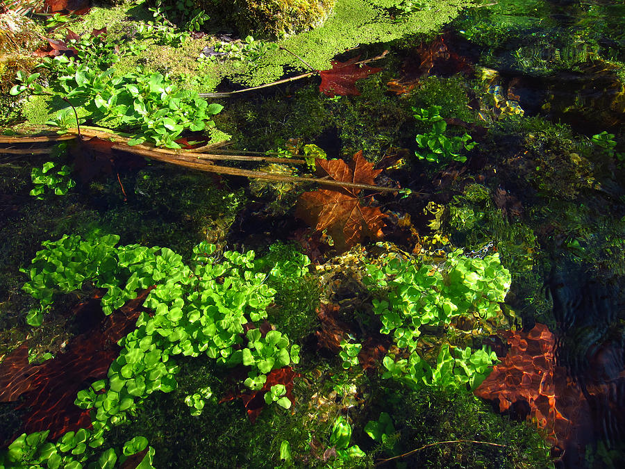 Maple Leaves And Watercress Photograph