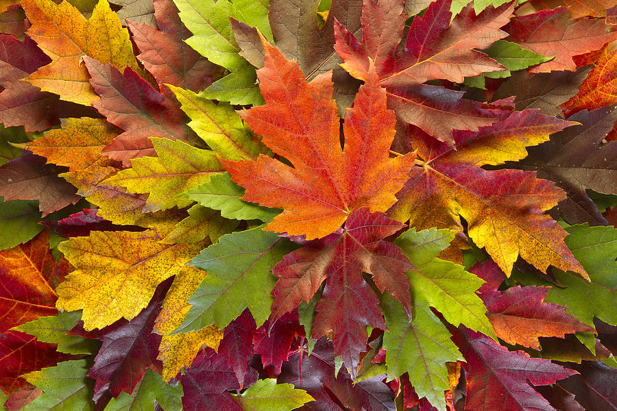 Maple Leaves Mixed Fall Colors Background Photograph By