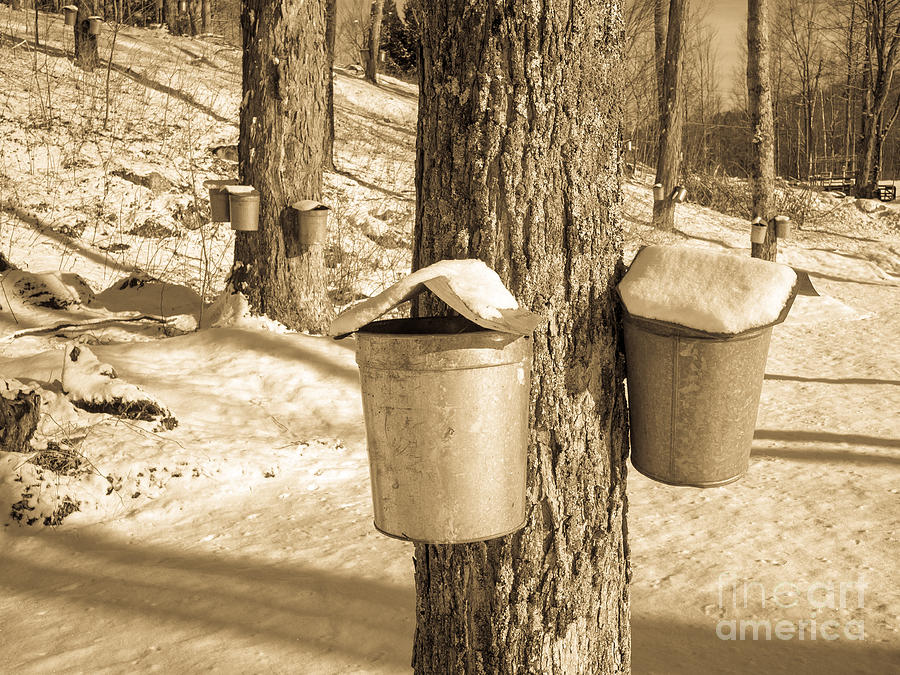 Maple Sap Buckets Photograph