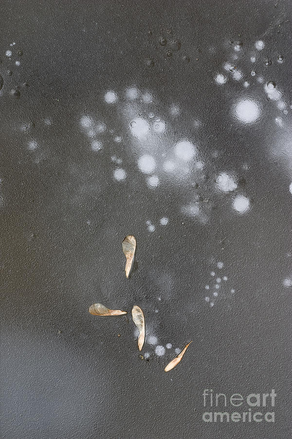 Maple Seeds On Ice Photograph