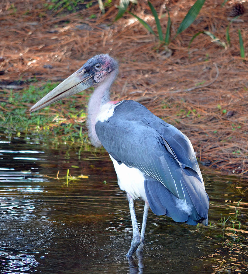 Stork Photograph - Marabou 2 by Richard Bryce and Family