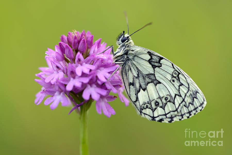 Marbled White Photograph  - Marbled White Fine Art Print