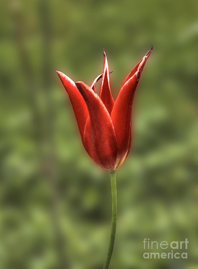 Mariette Tulip Photograph - Mariette Tulip 2 by Deborah Smolinske