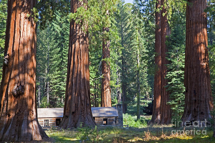 Mariposa Grove Giant Sequoias Yosemite National Park Photograph