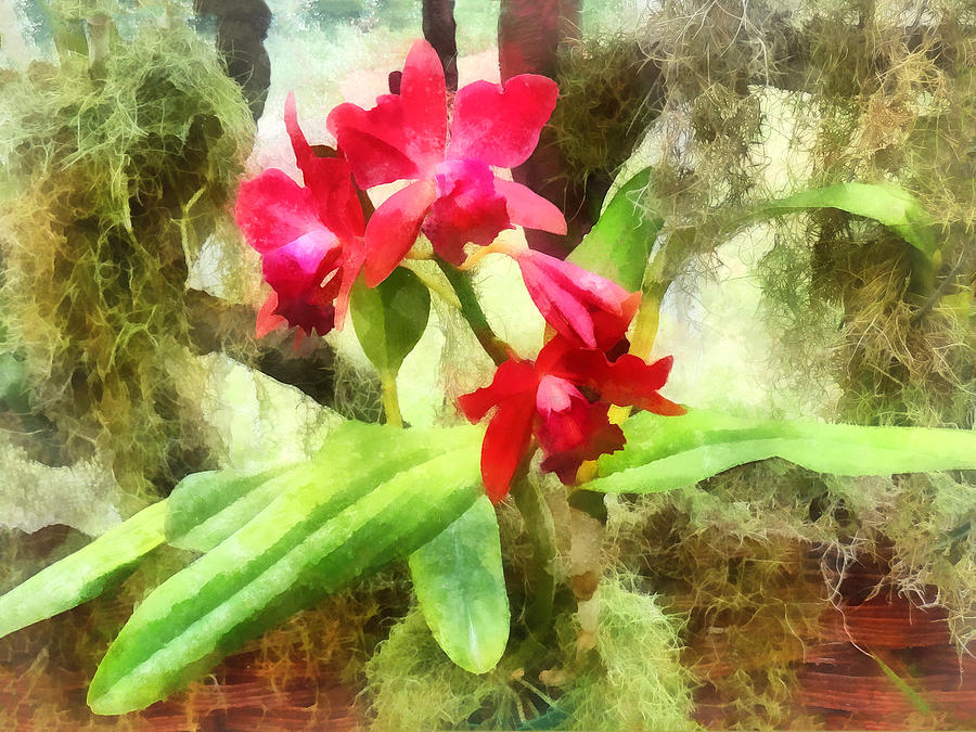 Maroon Cattleya Orchids Photograph