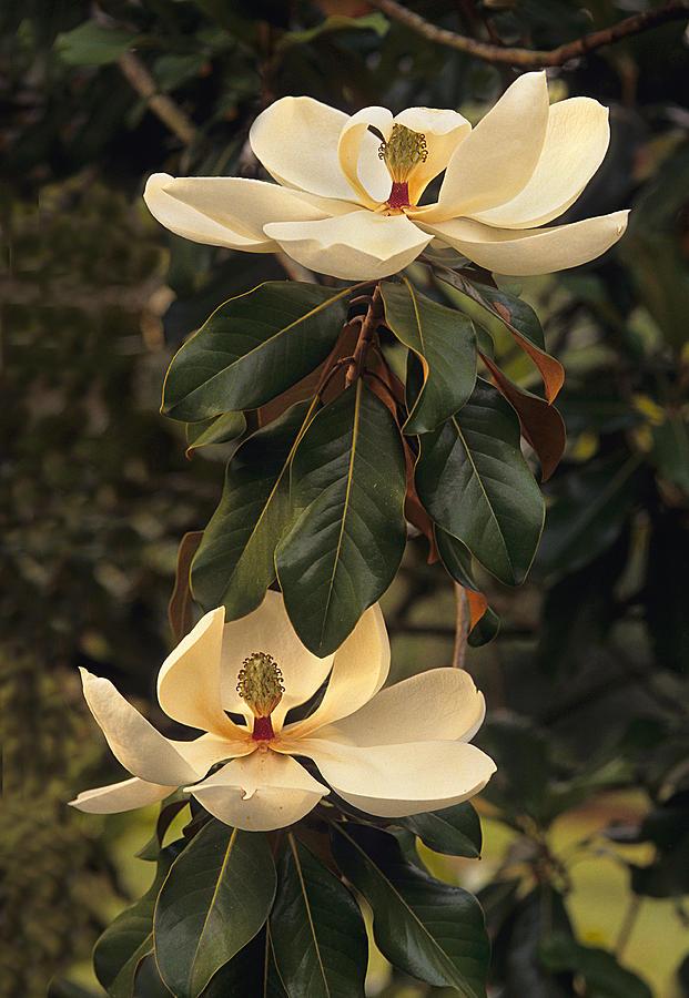 Marvelous Magnolia  Photograph