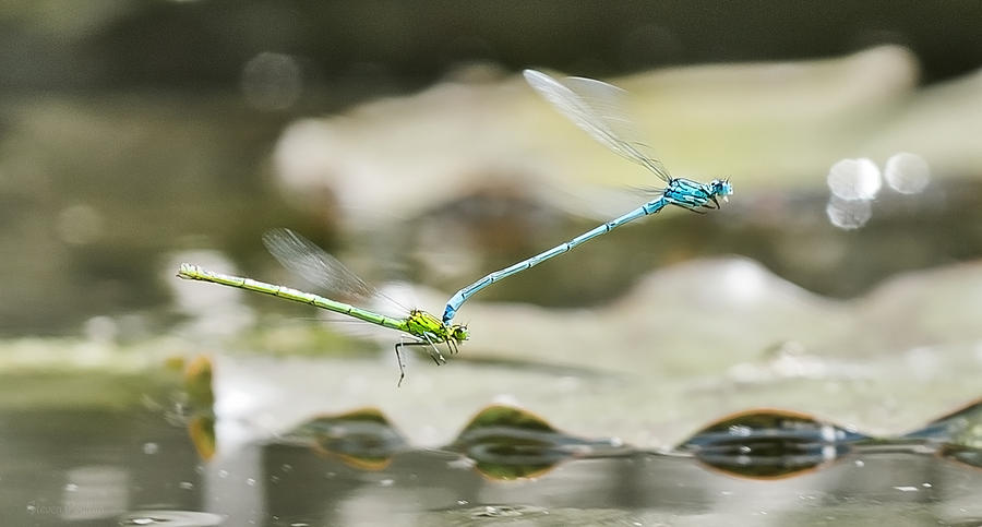 Mating Damselflies On The Wing Photograph