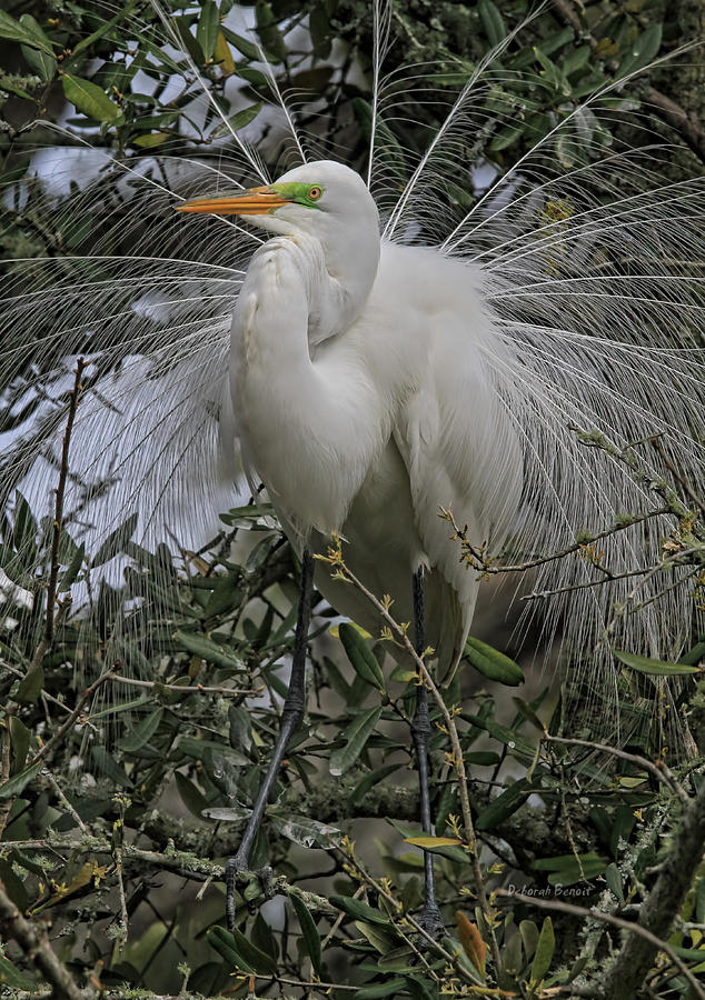 Mating Plumage Photograph