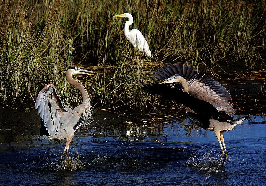 Great Blue Heron Photograph - Mating Ritual by Paulette Thomas