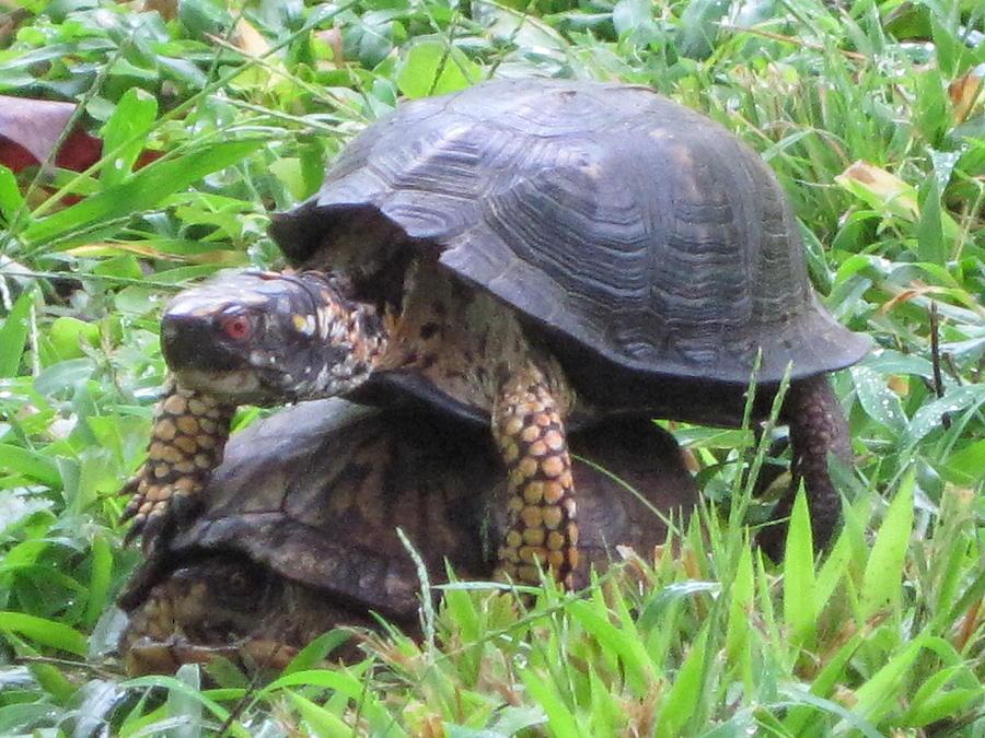 Mating Turtles Photograph