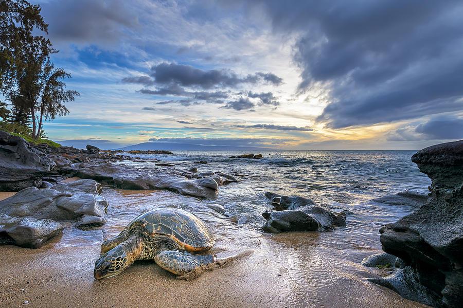 Maui Sea Turtle Photograph