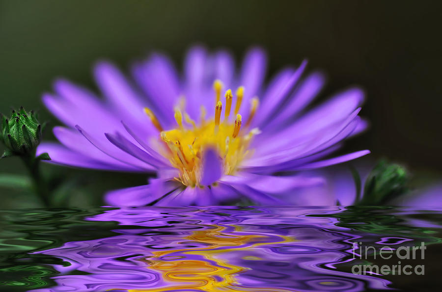 Mauve Softness And Reflections Photograph