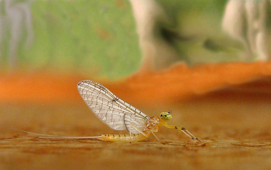Mayfly Art Photograph  - Mayfly Art Fine Art Print