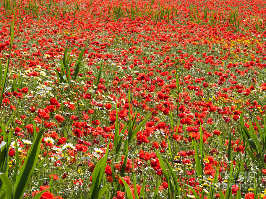 Meadow Covered With Red Poppies Photograph  - Meadow Covered With Red Poppies Fine Art Print