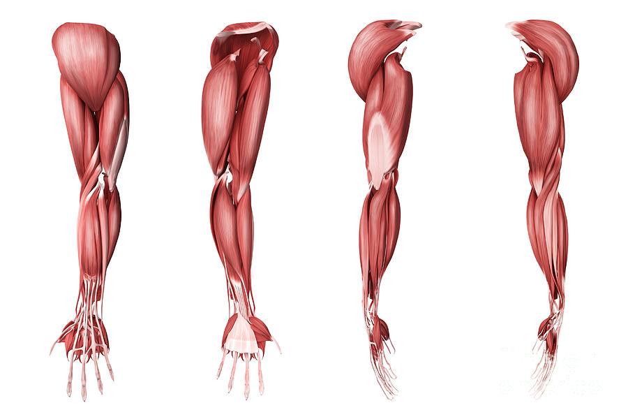 Human Arm Of hu... Human Arms