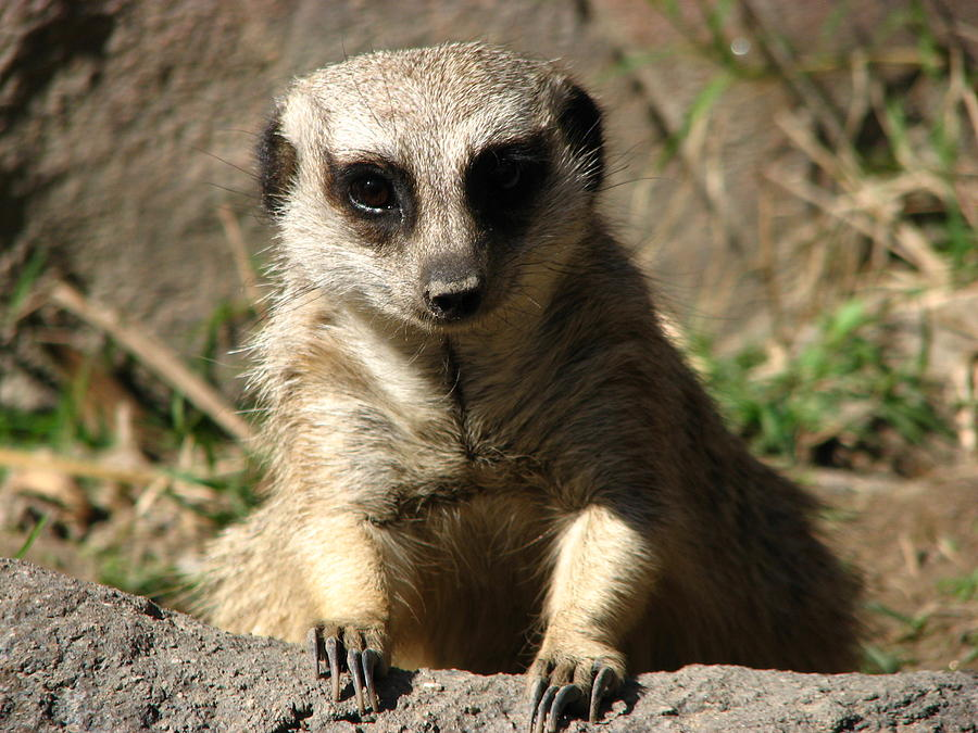 Meerkat Paws And Claws Photograph by Cleaster Cotton