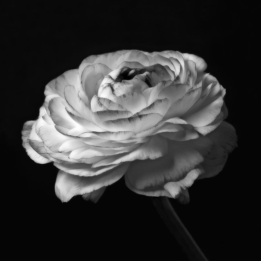 Melody - Black And White Rose Flower Macro Photograph Photograph