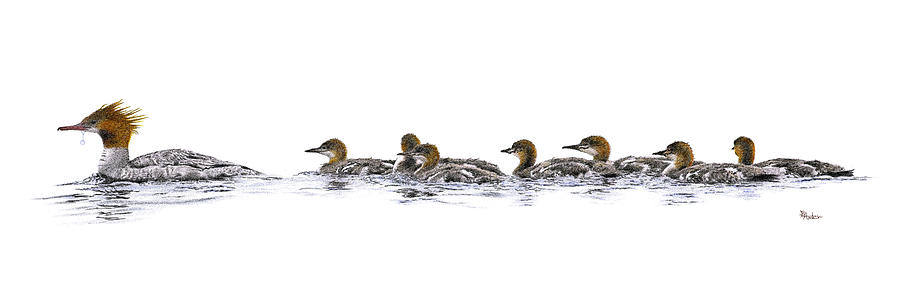 Merganser Family Drawing  - Merganser Family Fine Art Print