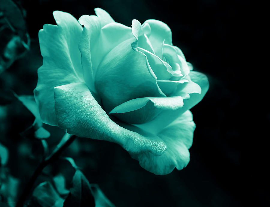 Midnight rose flower in teal is a photograph by jennie marie schell
