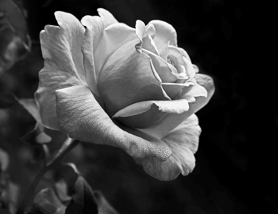 Midnight Rose In Black And White Photograph By Jennie