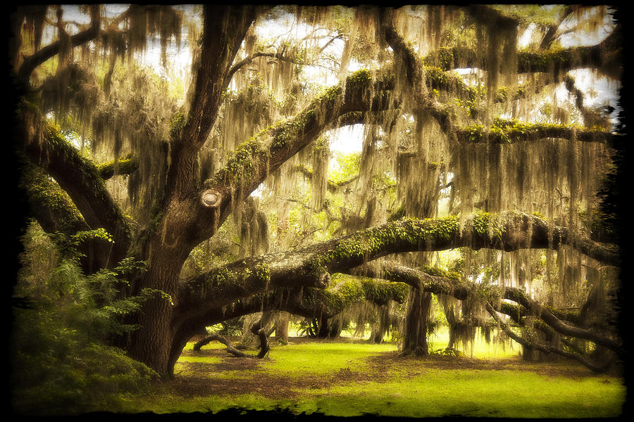 Tree Photograph - Mighty Live Oak by Barbara Kraus - Northrup