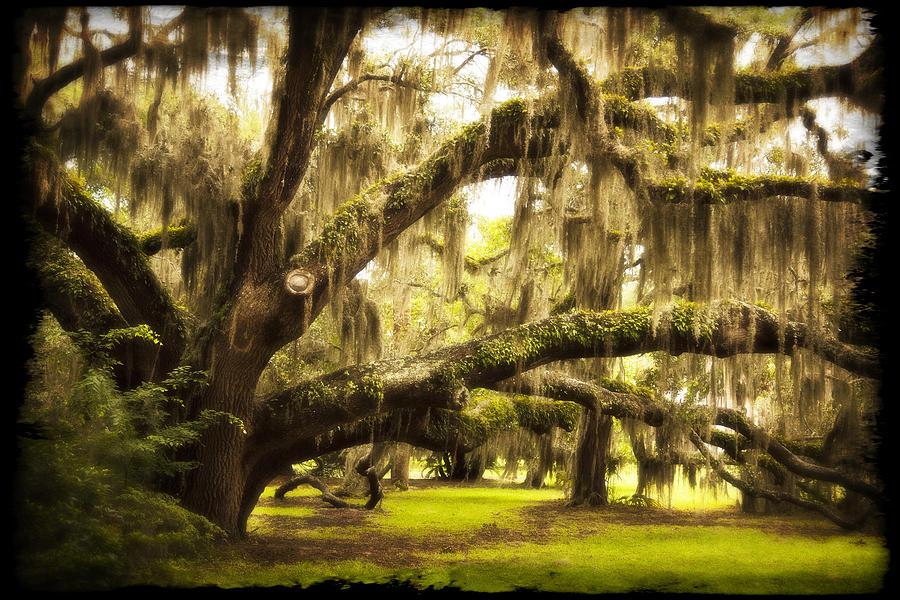 Mighty Live Oak Photograph