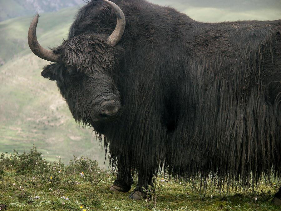 Mighty yack 1 by stephane rollandin