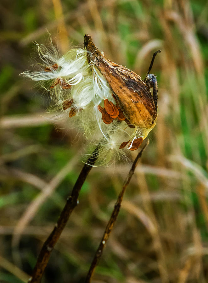 Milkweed Pod Photograph