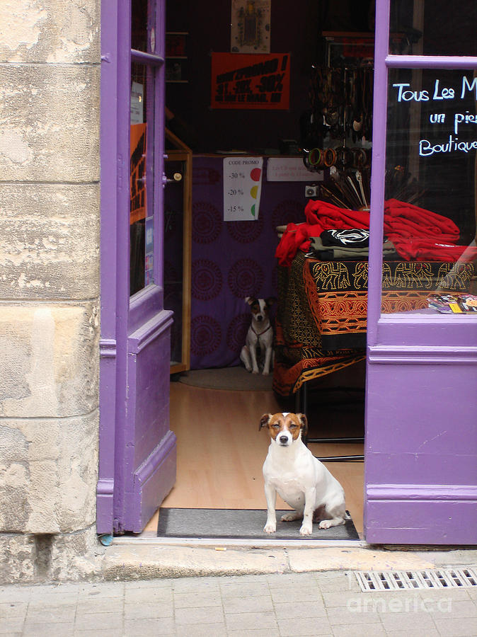 Minding The Shop. Two French Dogs In Boutique Photograph