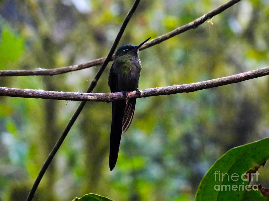 Mindo Hummingbird In The Rain Photograph  - Mindo Hummingbird In The Rain Fine Art Print