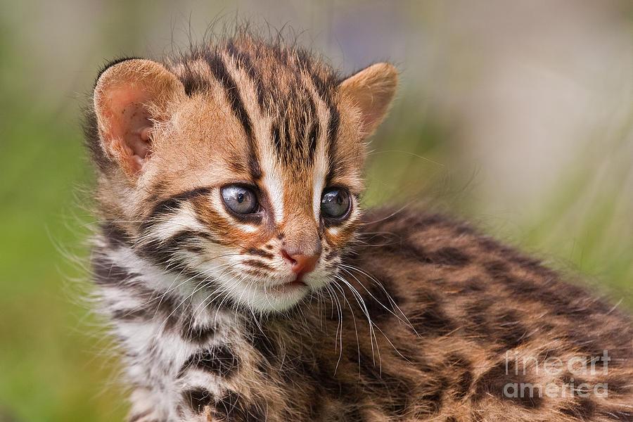 Miniature Leopard Photograph