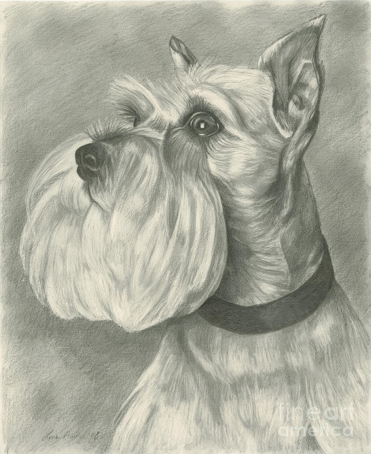 Miniature Schnauzer Drawing  - Miniature Schnauzer Fine Art Print