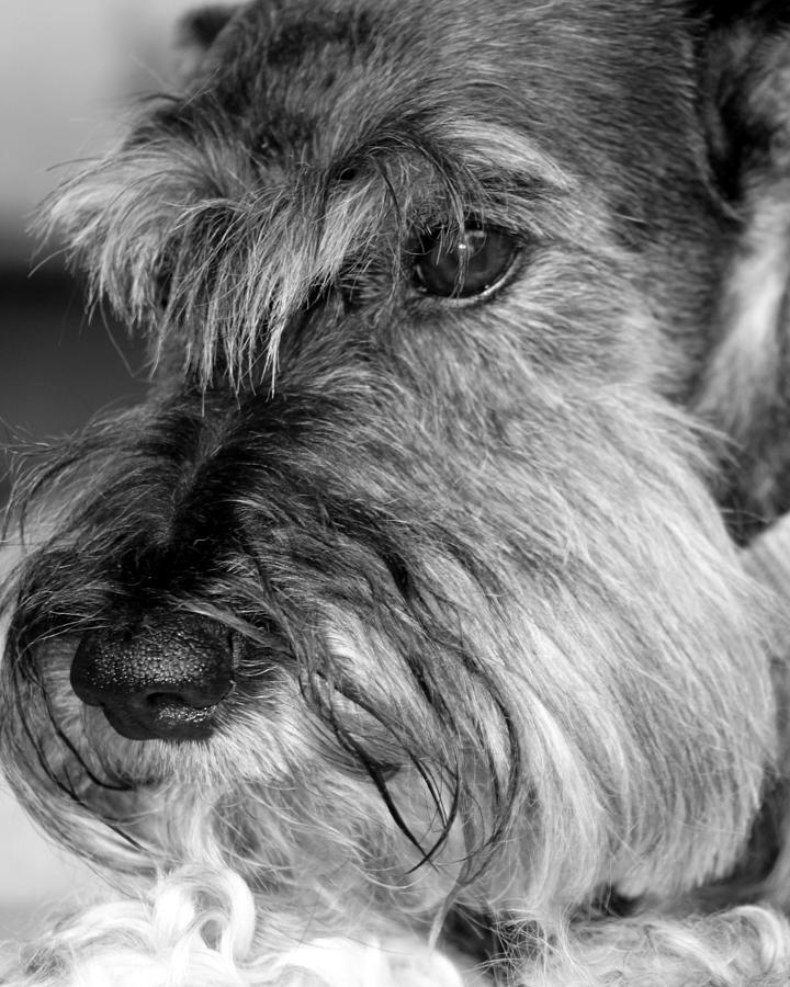 Miniature Schnauzer Portrait Photograph