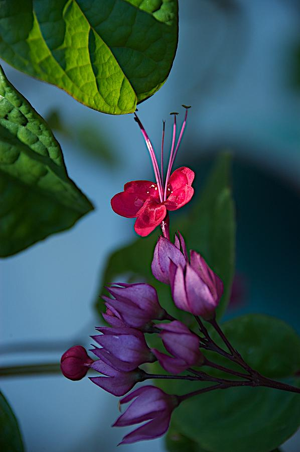 Flowers Photograph - Miracle Vine by Joseph Yarbrough