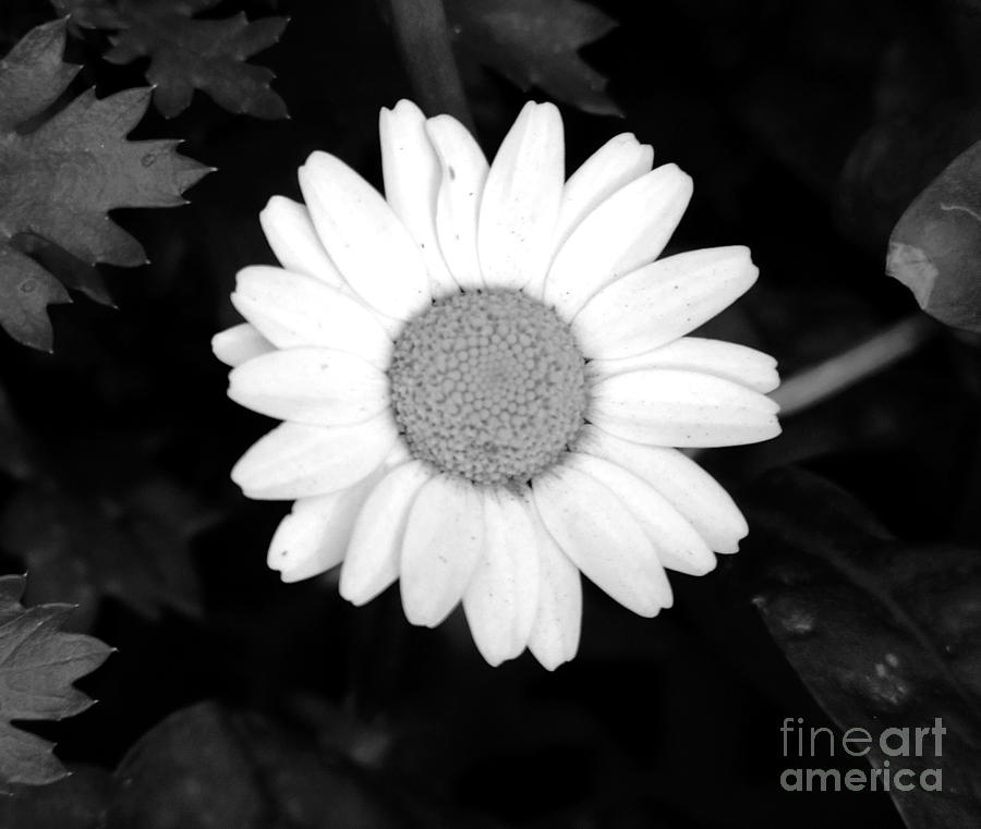 Miss Photograph - Miss Daisy by Andrea Anderegg