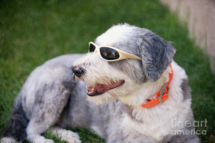 Miss Hollywood Bearded Collie Photograph
