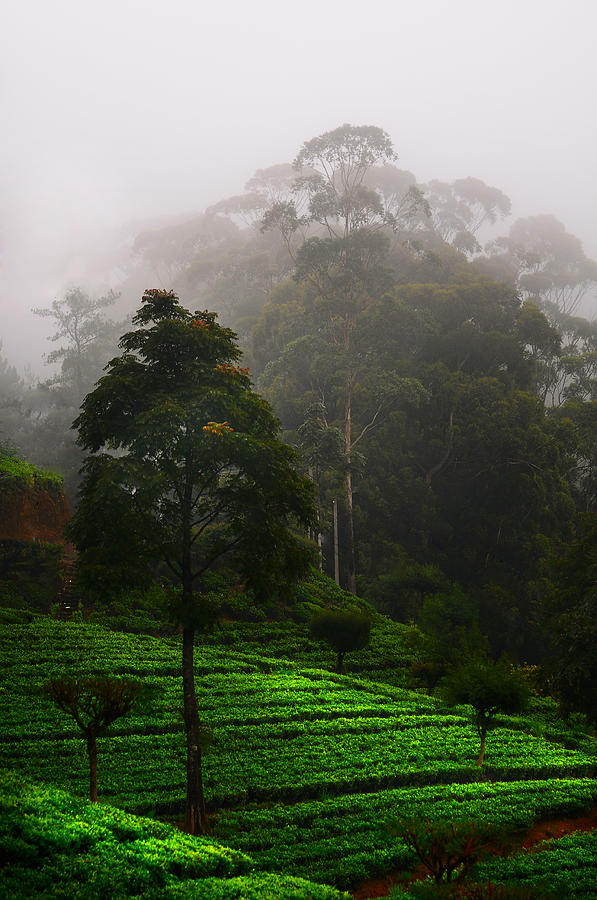 Misty Tea Plantations In Nuwara Eliya  Photograph