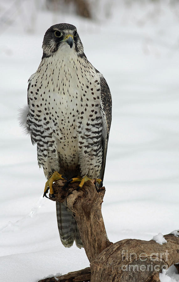 Moments Of Stillness Photograph - Moments Of Stillness Gyrfalcon In The Snow by Inspired Nature Photography Fine Art Photography